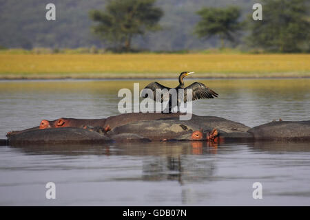 Reed Cormorant or Long-Tailed Cormorant, phalacrocorax africanus, Adult Drying Wings on the Back of Hippopotamus, - Stock Photo