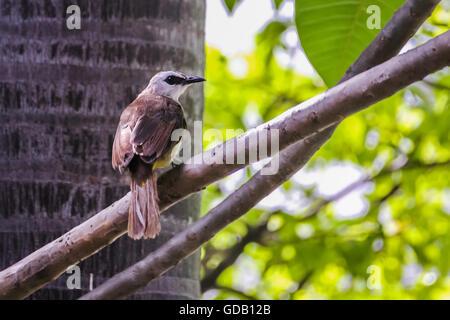 Yellow-Vented Bulbul (Pycnonotus goiavier) - Stock Photo