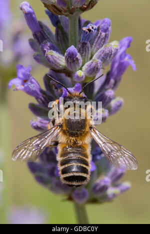 Closeup of a bee pollinating lavender flowers. - Stock Photo