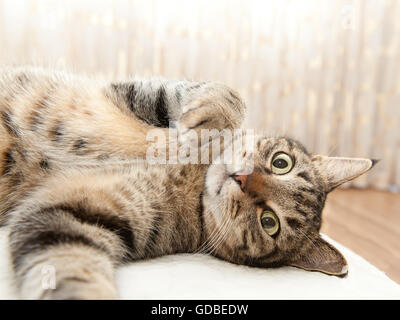 Tabby cat lying on side and looking at the camera - Stock Photo