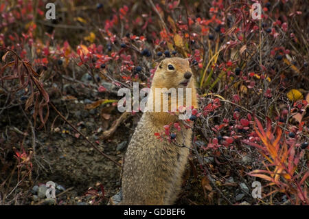 An Arctic Ground Squirrel ((Spermophilus parryii) feeding on fall's bounty of Blue berries, Denali National Park, - Stock Photo
