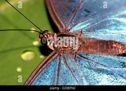 South American Peleides Blue Morpho (Morpho peleides) a.k.a. Emperor Butterfly, extreme closeup of iridescent blue - Stock Photo