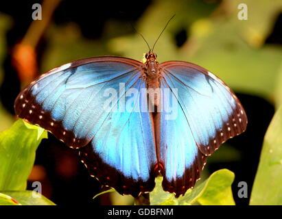 South American Peleides Blue Morpho (Morpho peleides) a.k.a. Emperor Butterfly, - Stock Photo