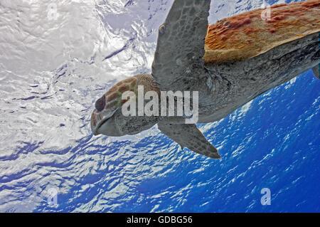 Loggerhead Turtle going for a breath - Stock Photo