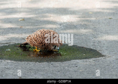 Kestrel, young bird bathing on street, Langenberg, NRW, Germany / (Falco tinnunculus) - Stock Photo