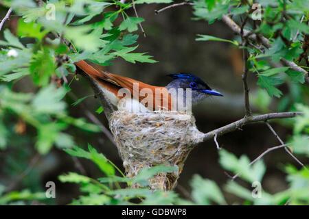 Asiatic Paradise Flycatcher on nest, Kazakhstan / (Terpsiphone paradisi) - Stock Photo