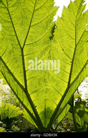 Underneath huge leaf of Giant Gunnera plant, Gunnera manicata, growing wild Trenoweth, near St Keverne, Cornwall, - Stock Photo