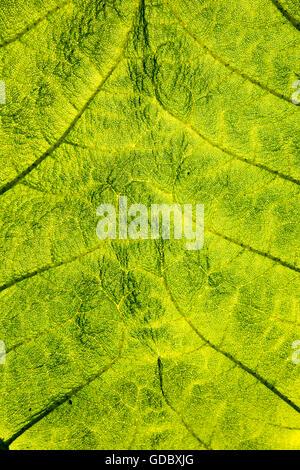 Close up detail of leaf structure, Giant Gunnera, Gunnera manicata, growing wild Trenoweth, near St Keverne, Cornwall, - Stock Photo