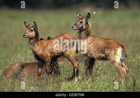 Defassa Waterbuck, kobus ellipsiprymnus defassa, Cub, Masai Mara Park in Kenya - Stock Photo