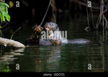 GIANT OTTER pteronura brasiliensis, FEMALE WITH YOUNGS, MANU NATIONAL PARC IN PERU - Stock Photo