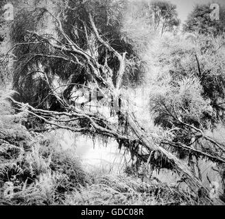 Rotorua,New Zealand,north island,tree,dead tree,jungle,rain forest,nature,primeval forest,black and white,Mystical,mo - Stock Photo