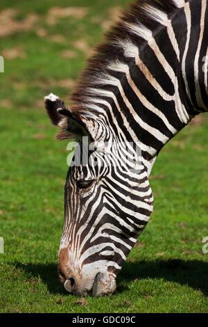 Grevy's Zebra, equus grevyi, Head of Adult Eating Grass - Stock Photo