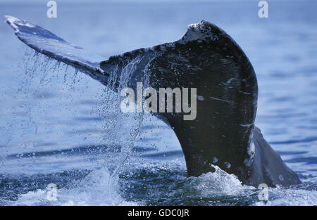 GREY WHALE eschrichtius robustus, CLOSE-UP OF TAIL AT SURFACE, BAJA CALIFORNIA IN MEXICO - Stock Photo
