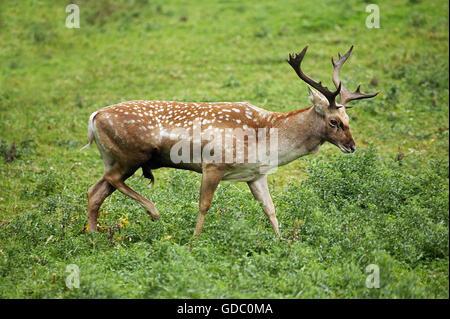 Persian Fallow Deer, dama mesopotamica, Male - Stock Photo