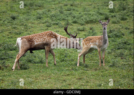 Persian Fallow Deer, dama mesopotamica, Male and Female - Stock Photo