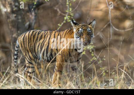 Wild Bengal Tiger cub watching at Ranthambhore forest. [Panthera Tigris] - Stock Photo