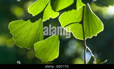 GINKGO BILOBA - Stock Photo