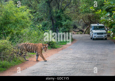 Wild Bengal Tiger in the monsoon crossing and the forest department vehicle in background while exiting the Ranthambhore - Stock Photo
