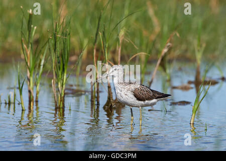 Common greenshank standing in its natural habitat - Stock Photo