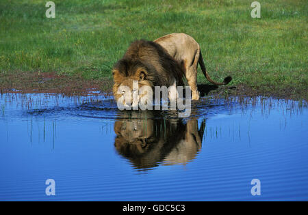 AFRICAN LION panthera leo, MALE DRINKING FROM POUND - Stock Photo
