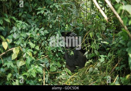Mountain Gorilla, gorilla gorilla beringei, Silver Back Male camouflaged in Forest, Virunga Park in Rwanda - Stock Photo