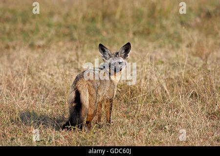 Bat Eared Fox, otocyon megalotis, Adult on Dry Grass, Masai Mara Park in Kenya - Stock Photo
