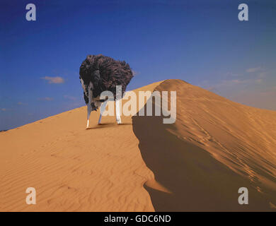 Ostrich, struthio camelus, Male head in sand, Composite image - Stock Photo