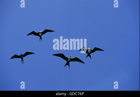 Magnificent Frigatebird, fregata magnificens, Group of Females in Flight, Mexico - Stock Photo