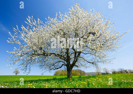 Blossoming pear tree in spring,Switzerland Stock Photo