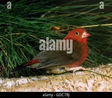 Red-Billed Firefinch, lagonosticta senegala - Stock Photo