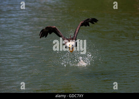Bald Eagle, haliaeetus leucocephalus, Immature in Flight, Fishing - Stock Photo