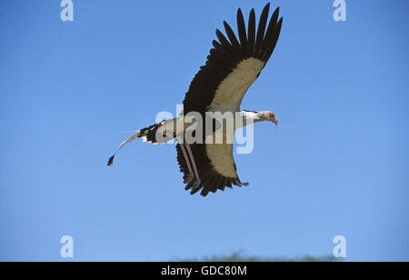 SECRETARY BIRD sagittarius serpentarius FLYING AGAINST BLUE SKY - Stock Photo