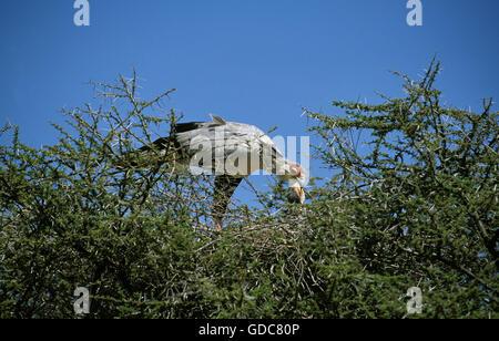 SECRETARY BIRD ADULT sagittarius serpentarius FEEDING CHICK AT NEST - Stock Photo