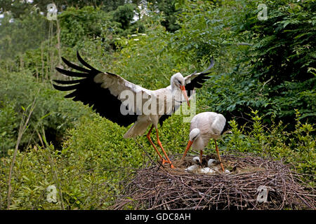 White Stork, ciconia ciconia, Pair with Chicks on Nest - Stock Photo