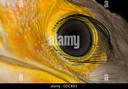 Secretary Bird, sagittarius serpentarius, Close Up of Eye - Stock Photo