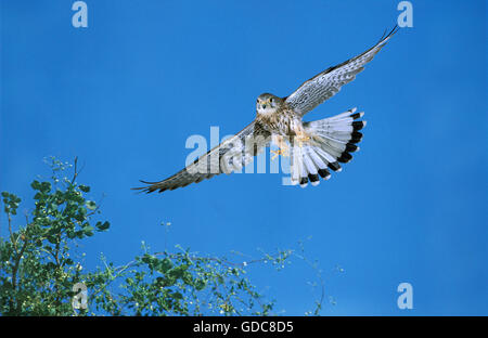 Common Kestrel, falco tinnunculus, Female in Flight, Normandy - Stock Photo