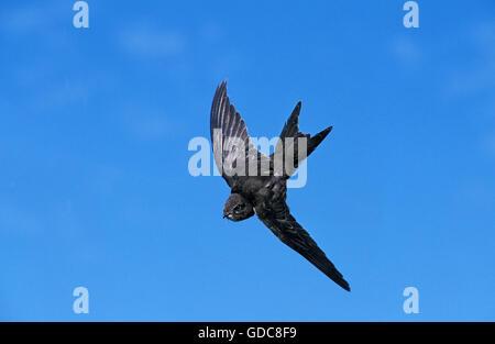 Common Swift, apus apus, Adult in Flight against Blue Sky - Stock Photo