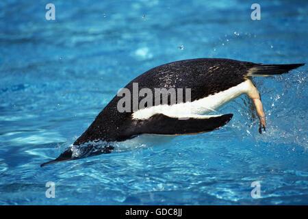 GENTOO PENGUIN pygoscelis papua, ADULT SWIMMING - Stock Photo