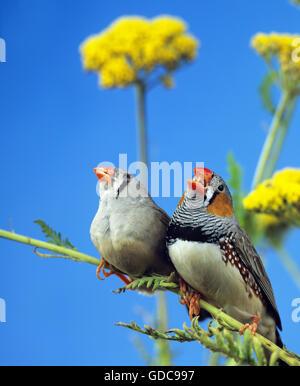 ZEBRA FINCH taeniopygia guttata, PAIR ON BRANCH, MALE SINGING - Stock Photo