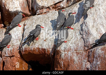 INCA TERN larosterna inca, BALLESTAS ISLANDS IN PARACAS NATIONAL PARK, PERU - Stock Photo