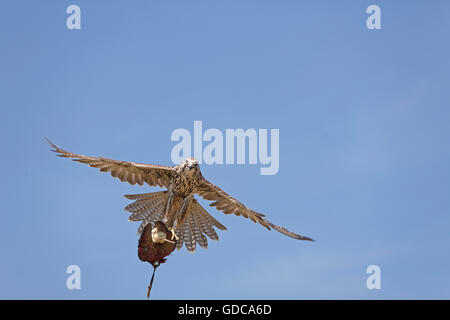 Saker Falcon, falco cherrug, Adult in Flight, Catching Lure from Falconer - Stock Photo