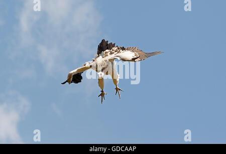 Himalayan Griffon Vulture, gyps himalayensis, Adult in Flight - Stock Photo