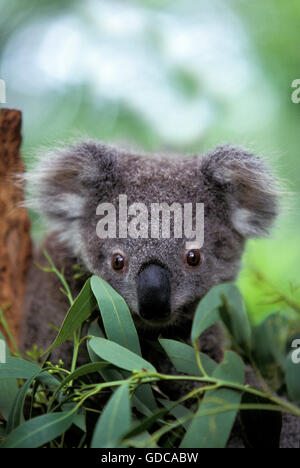 KOALA phascolarctos cinereus, PORTRAIT OF YOUNG, AUSTRALIA - Stock Photo