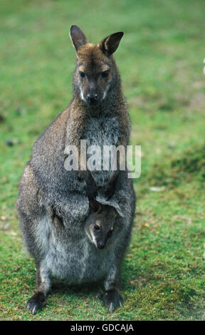 Bennett's Wallaby, macropus rufogriseus, Mother with Joey in Pouch - Stock Photo