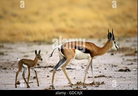 SPRINGBOK antidorcas marsupialis, FEMALE WITH YOUNG - Stock Photo