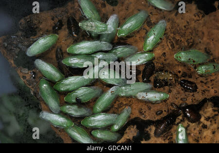 Green Banana Cockroach, panchlora nivea in South America - Stock Photo