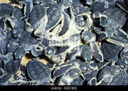 GREEN SEA TURTLE chelonia mydas, BABIES IN HATCHERY, MALAISIA - Stock Photo