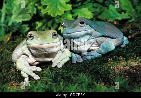 White's Tree Frog, litoria caerulea, Adults - Stock Photo