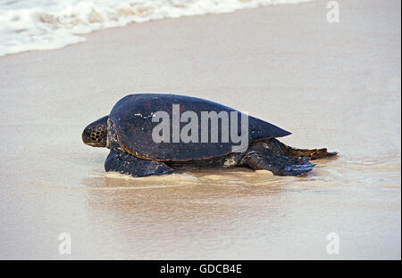 Green Sea Turtle, chelonia mydas, Female on Beach going to Sea after Laying Eggs, Malaysia - Stock Photo