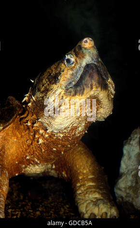 ALLIGATOR SNAPPING TURTLE macroclemys temminckii, PORTRAIT OF ADULT - Stock Photo